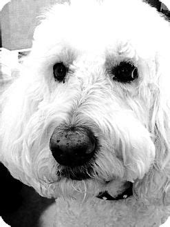 golden retriever rescue adoption ontario meilo adopted bowmanville on poodle standard