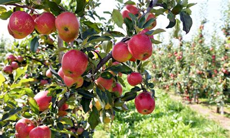 apple europe europe gathers a good harvest but russian ban hits fruit
