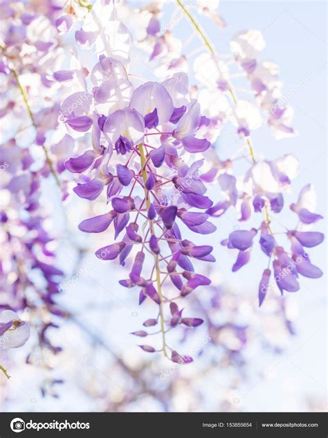 viola fiore immagini glicine viola in fiore foto stock 169 magdalena