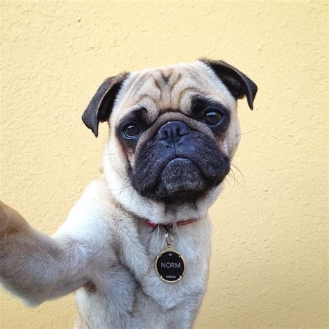 pug selfie norm the loving photogenic pug appears to take selfies
