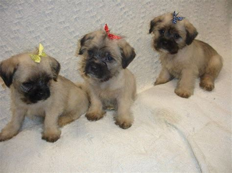 pug x maltese gorgeous tiny maltese x pug puppy for sale salford greater manchester pets4homes