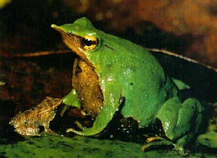 imagenes ironicas de la rana animales extra 209 os y curiosidades animales rana de darwin