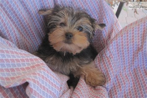 free yorkie puppies near me terrier yorkie puppy for sale near san diego california 20acb194 0051
