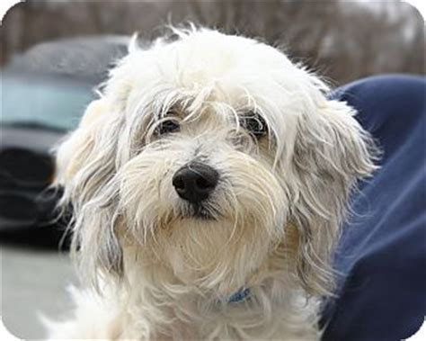 havanese nj oak ridge nj havanese meet igloo a for adoption