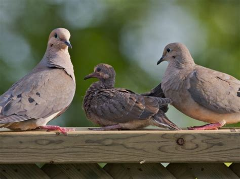 mourning dove hunt in ontario animal alliance of canada