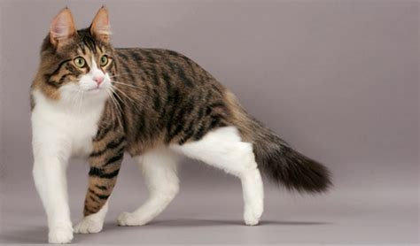 most beautiful breeds 10 most beautiful cat breeds in the world and fur