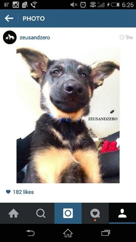 german shepherd puppy ears stages the awkward ear stages of zeus german shepherd forums