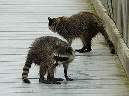 how to get rid of raccoons in my backyard get rid of raccoons back deck read more and i wish