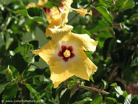yellow quot hibiscus rosa sinensis quot and red quot hibiscus טבע צבעוני gt פרחי אביב קיץ וסתיו gt היביסקוס סיני צהוב