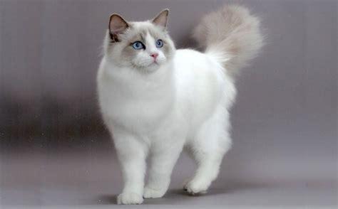 ragdoll cat breed ragdoll cat breed cat breeds of the world