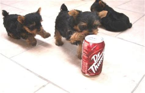 teacup yorkie for sale in south carolina teacup yorkie puppies for sale akc yorkie puppies teacup yorkies