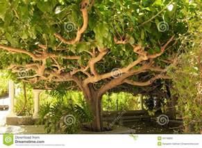 Large Leaf Tropical Plant - kiwi tree foto de stock imagem 43746893