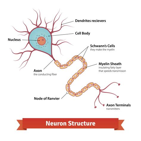 brain cell diagram learn about the location structure and functions of the