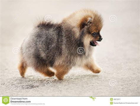 pomeranian walking pomeranian spitz puppy walking stock photo image 49270311