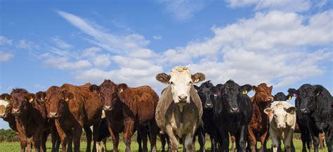 Live Feeder Cattle Futures futures options trading for risk management cme