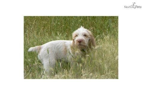 spinone italiano puppies for sale spinone italiano puppy for sale near gold country california 861b6d81 8d31