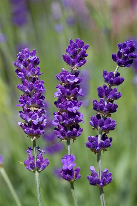wholesale lavender plants fairweather s nursery