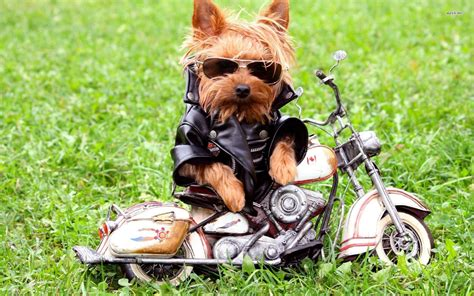 it s hd animals funny wallpapers cool funny wallpapers yorkshire terrier wallpapers hd download