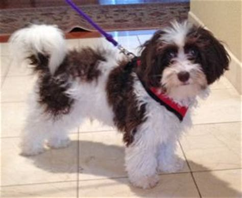 havanese rescue missouri 1000 images about adoptable dogs mostly havanese on