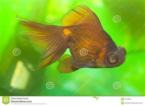 colorful goldfish colorful goldfish royalty free stock images image 7354969