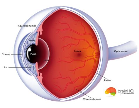 cross section of an eye vision image gallery brainhq from posit science