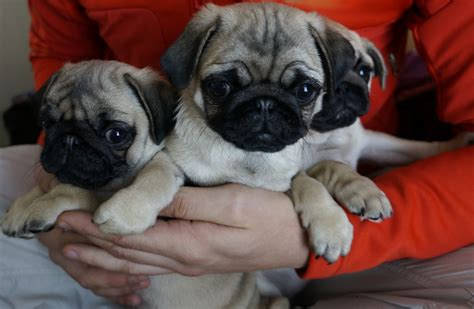 puppy pugs for sale in essex pugs for sale dagenham essex pets4homes