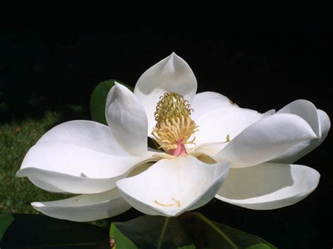 Magnolia Wallpaper by Wallpapers Southern Magnolia Flower Wallpapers
