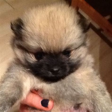 pomeranian teacup size georgeous teacup size pomeranian pups keith banffshire pets4homes
