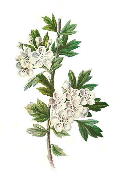 the botanical art files antique images digital wildflower hawthorn clip art