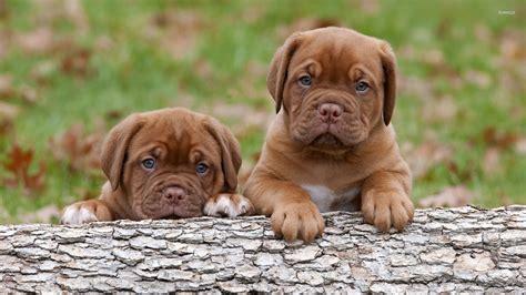 de bordeaux puppies dogue de bordeaux puppies wallpaper animal wallpapers 22127