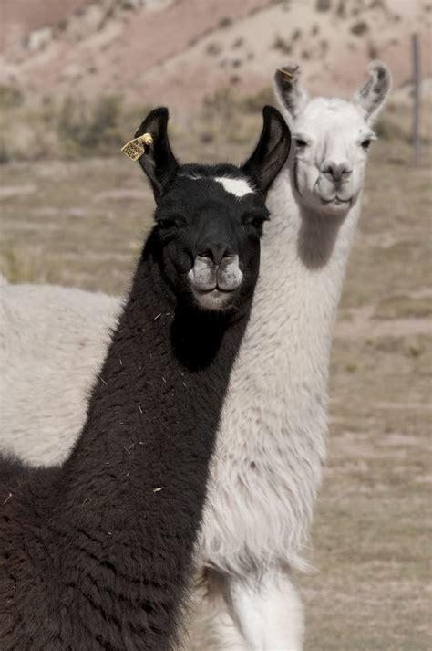imagenes de animales llamas mejores 262 im 225 genes de camelidos llamas alpacas