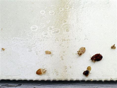 ddt bed bugs bed bugs a growing problem worldwide