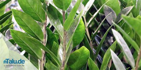 zimmerpflanzen die wenig licht brauchen diese zimmerpflanzen brauchen nur wenig licht liste