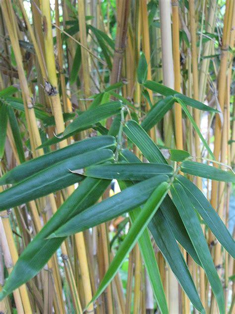 alphonse karr bamboo bambusa multiplex alphonse karr