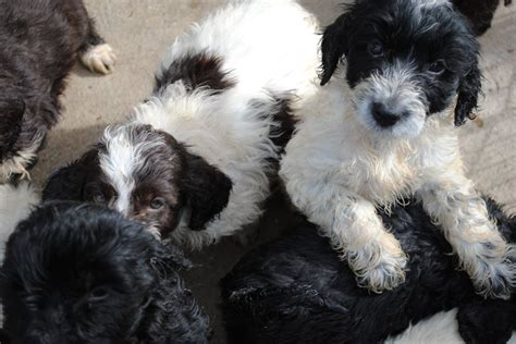 cockapoo puppies available for sale cockapoo puppies for sale lincoln lincolnshire pets4homes