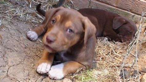 chocolate lab mix puppies light brown brown chocolate lab mix puppies s web page