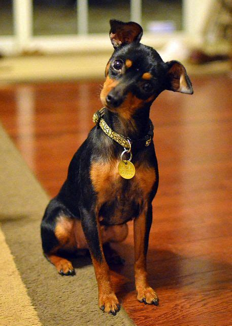 his name was my with a remarkable doberman pinscher books best ideas about mini doberman pincher pincher and