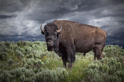 Randall Park by American Buffalo Or Bison In Yellowstone Photograph By