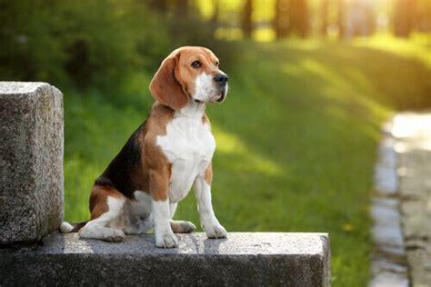 beagle in appartamento beagle descubra tudo sobre essa ra 231 a neste artigo meus