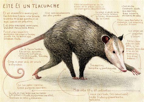 biografia de animal el tlacuache 250 nico marsupial mexicano taringa