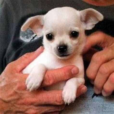 white chihuahua puppies for sale pits on blue pitbull puppies pitbull and blue nose pitbull puppies
