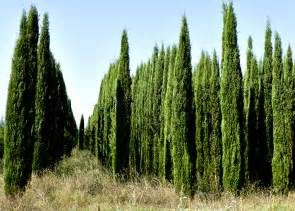 cypress trees quotes like success