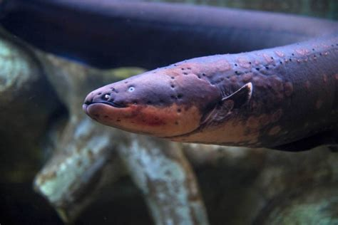 electric eel study reveals electric eel use electric charge to detect
