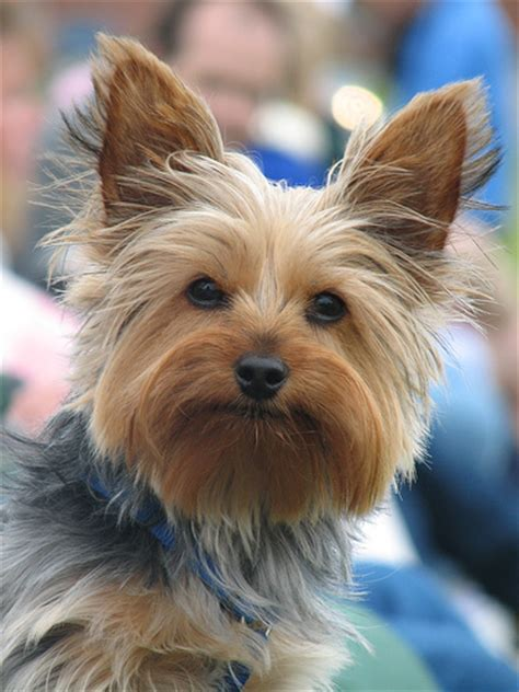 pictures of boy yorkies the gallery for gt boy yorkie haircuts
