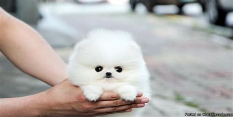 Small Dogs For Home In India Pomeranian Possibly