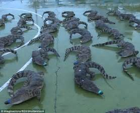 Sickening moment 88 frozen crocodile TAILS are found in a ...