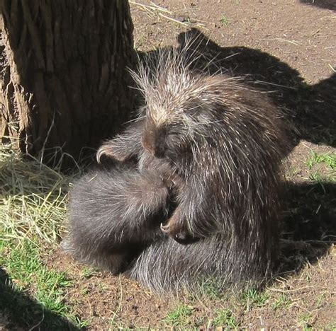 groundhog day turtle back zoo turtle back zoo welcomes baby porcupine just in time for