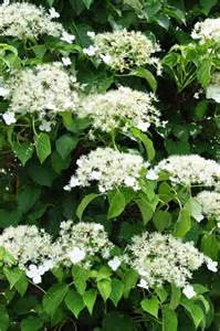 Winter Climbing Plants - best flowering vines for the northern us gardener s path