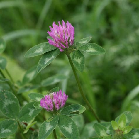 rotklee trifolium pratense