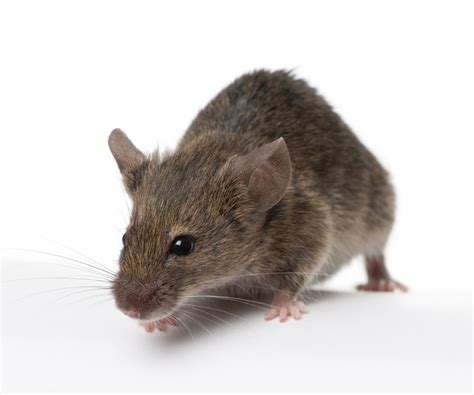 without mouse how to get rid of mice tomlinson bomberger